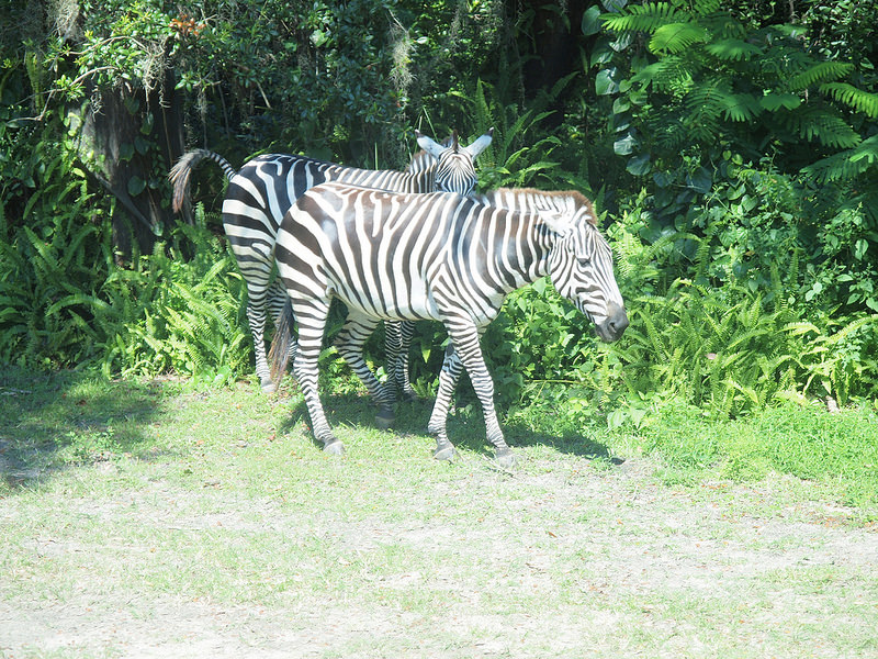 Zebras at Disney World - your 2 year old will love zebras at Disney World